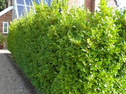 native hedge plants best 25 griselinia hedge ideas on pinterest fast growing hedge