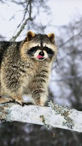 42 best raccoon pictures images on pinterest wild animals