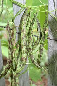 rattlesnake pole bean 65 days heirloom