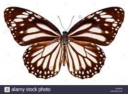 butterfly species danaus melanippus white tiger stock photo