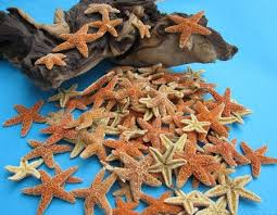small sugar starfish wholesale 1 to 2 inches