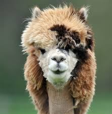 Alpaca Sheep Meme - the 22 most hilarious alpaca hairstyles ever they probably are