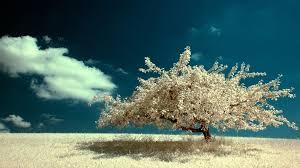 white tree white tree wallpaper 34197