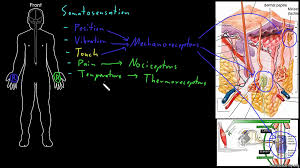 introduction to neural cell types video khan academy