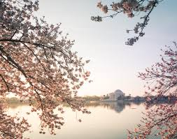 guide to the washington dc cherry blossoms 2017