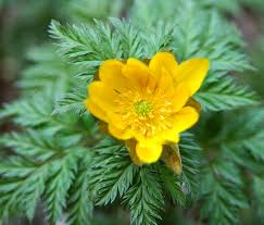 guide to poisonous plants college of veterinary medicine and