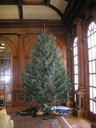 eight to nine foot premium fraser fir tree clements trees
