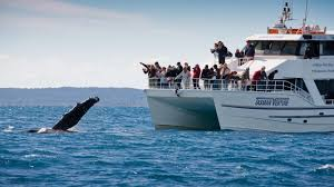 whale watching a whale of a time tourism australia