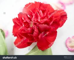 Red Carnations Beautiful Red Carnations Stock Photo 418664983 Shutterstock