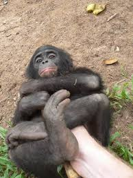 siege social bonobo surgery at the bonobo health clinic congo bonobo road