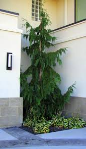 Backyard Trees Landscaping Ideas by Best 20 Cedar Trees Ideas On Pinterest Yard Diy Yard Decor And