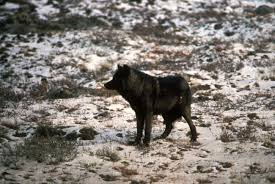 free picture black wolf melanistic color variant