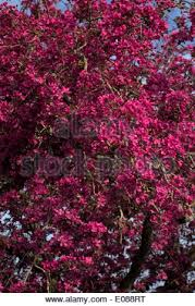 Profusion Flowering Crabapple - crab apple stock photos u0026 crab apple stock images page 5 alamy