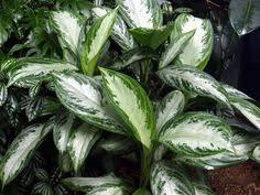 Indoor Plants Low Light Hgtv by New Thai Hybrids Of Chinese Evergreen Aglaonema Www Behnkes Com