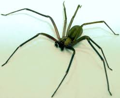 brown recluse spider simple english wikipedia the free encyclopedia