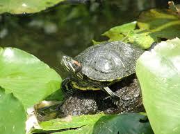 Texas Map Turtle Arboretum At Night Turtles