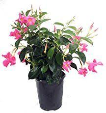 Mandevilla Plant Diseases - mandevilla plant care how to grow the colorful showy mandevilla