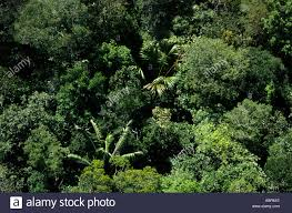 canopy amazon amazon brazil aerial view of unbroken rainforest canopy with palm