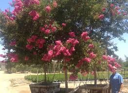 crape myrtle trees pink multi trunk