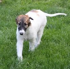 afghan hound poodle cross ischyma alaska