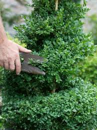 creating a boxwood topiary hgtv