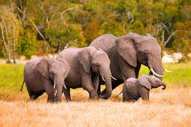 kenya africa elephant family photography by stephen w oachs