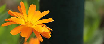 What Is Orange Flower Water - orange free pictures on pixabay