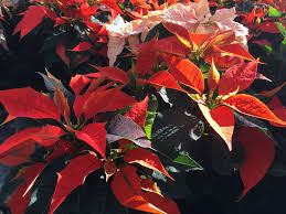 what to do with poinsettias after christmas u2014 stanley u0027s greenhouse