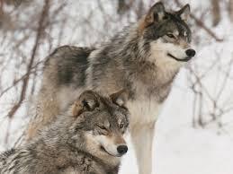 imagenes de fondo de pantalla lobos los mejores fondos de pantalla de lobos imágenes taringa