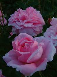 buy roses 839 best roses images on beautiful flowers gardening