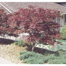 shop 1 5 gallon japanese maple feature tree l3165 at lowes