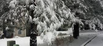 it s to be evergreen tree tips for winter my green montgomery