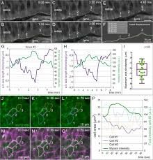 analysis of cellular behavior and cytoskeletal dynamics reveal a