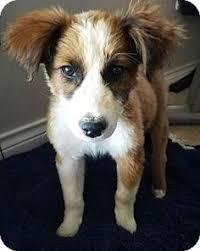 australian shepherd collie mix golden co australian shepherd st bernard mix meet mac a dog