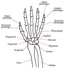 Anatomy Of Human Body Bones Human Body Bones Names Human Anatomy Diagram