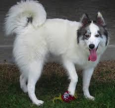 belgian sheepdog houston tx houston tx husky meet aspen a dog for adoption