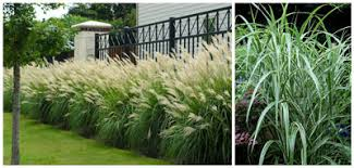 my choice best ornamental grass neil sperry s gardens