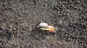 Pleins De Crabe Violonistes Très Premiers Pas Ou Presque à Cuba Bapt Issons Lu Topie