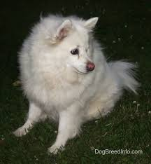 american eskimo dog price in india american eskimo dog breed pictures 3