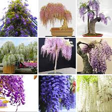 sale unique five different mini bonsai wisteria tree seed