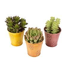 pots for succulents for sale 6 succulents u0026 cactus plants garden plants u0026 flowers the