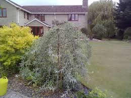 the gardener pruning a weeping pear willow
