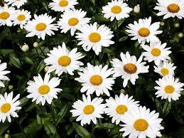 shasta daisy flowers information on how to grow shasta daisy