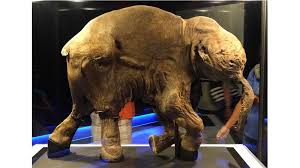 genetic engineering bring woolly mammoth