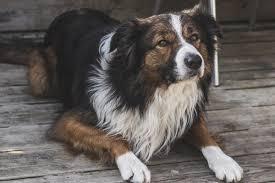 australian shepherd fabric online get cheap furry dogs aliexpress com alibaba group