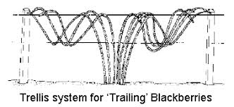 Trellis System How To Grow And Maintain An Organic Blackberry Patch Sacred Habitats