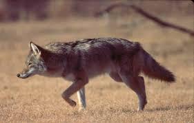 Coyote_in_field jpg