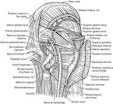 Bicep Innervation Nerves Of The Hip And Thigh Dummies
