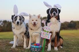 3 legged australian shepherd pet first aid awareness month u2013 spring holiday hazards pro pet