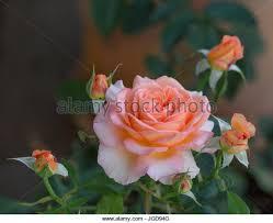 Apricot Color Apricot Color Flower Stock Photos U0026 Apricot Color Flower Stock